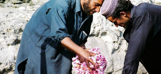 Roses from Afghanistan