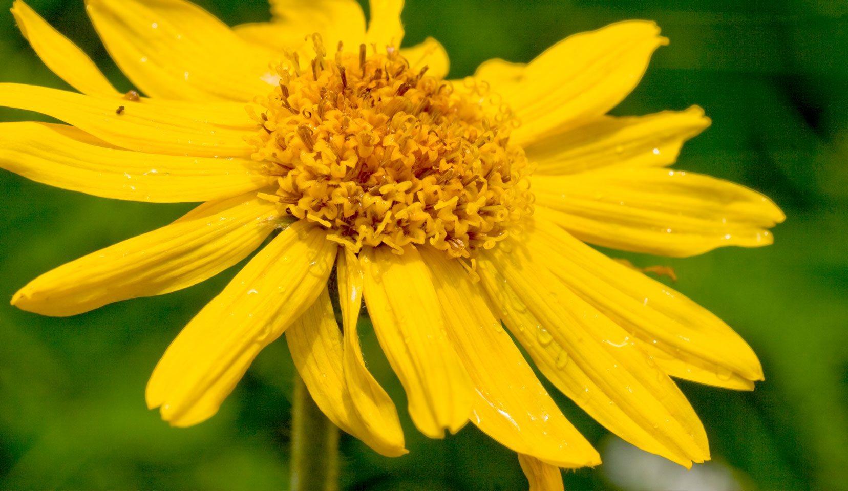 Pianta Orecchie Di Agnello arnica (arnica montana l.) - medicinali wala