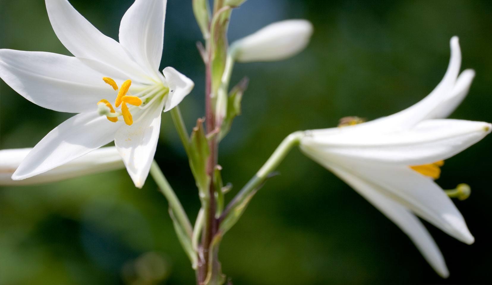 Azucena Lilium Candidum L Liliaceae Familia De Liliáceas Cosmética Natural Para El Cuidado De Rostro Y Cuerpo Dr Hauschka