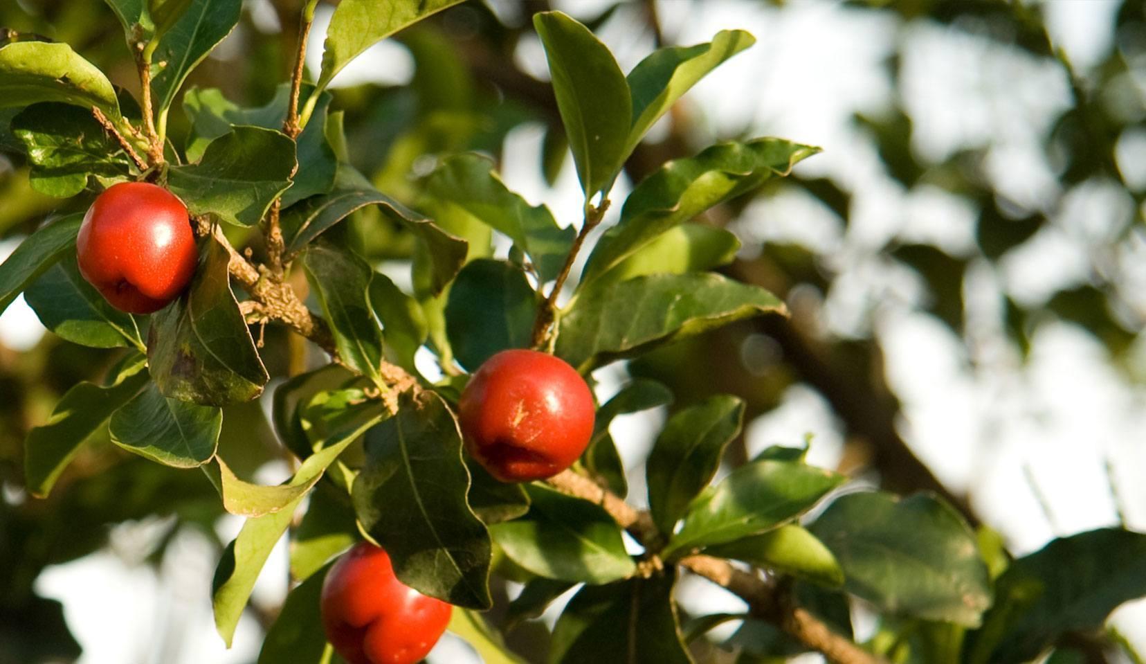cherry de la varicoză