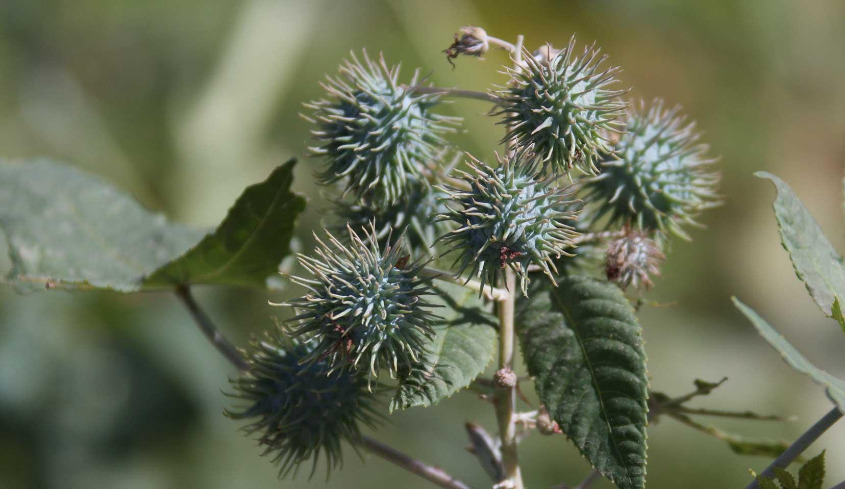 Castor Oil Plant Ricinus Communis L Euphorbiaceae Spurge Family Organic And Natural Skin Care Dr Hauschka Skin Care
